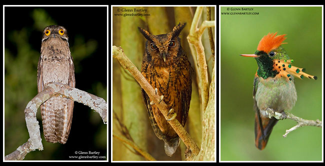 Common Potoo, Tawny-bellied Screech  Owl, Tufted Coquette by Glenn Bartley ©