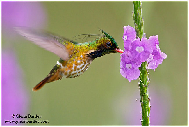 Black-crested Coquette by Glenn Bartley ©