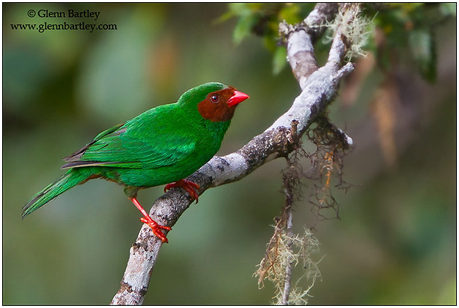 Grass Green Tanager by Glenn Bartley ©