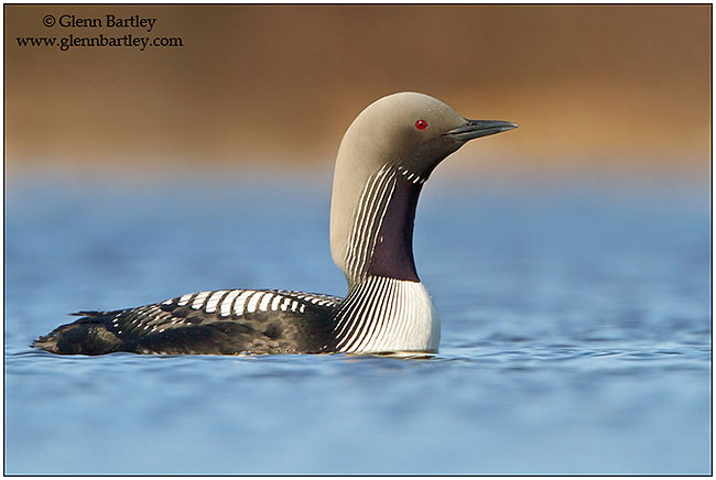 Pacific Loon by Glenn Bartley ©
