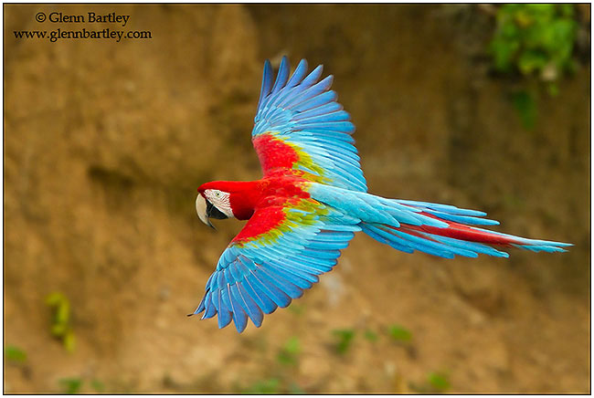 Red and Green Macaw by Glenn Bartley ©