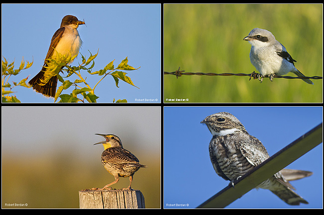 Western Kingbird, Loggerhead Shrike, Western Meadlow Lark and Common Nighthawk by Robert Berdan ©