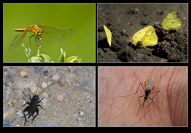 Dragon fly, Sulphur butterflies, cricket, mosquito by Robert Berdan