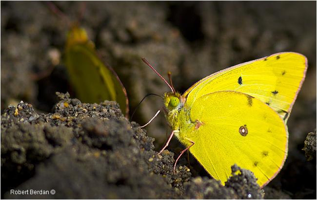 Sulphur Butterfly feeding on mud by Robert Berdan ©