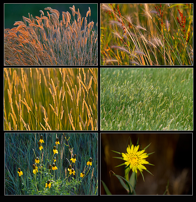 Grasses, Crested wheatgrass, Needle-and-thread grass, June grass, Prairie coneflowers and Common goat's -beard.