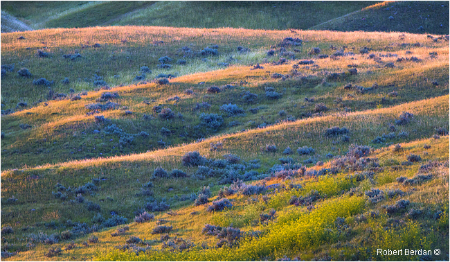 Mixed grass and sage - Grasslands National Park by Robert Berdan ©