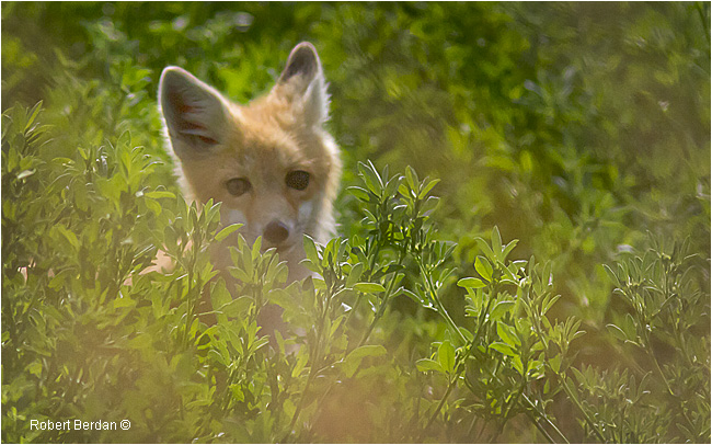 Young swift fox called a kit  by Robert Berdan ©