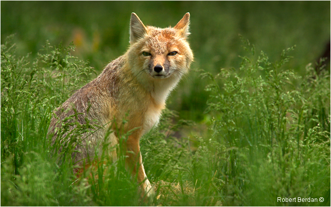 Swift fox Vulpes velox by Robert Berdan ©