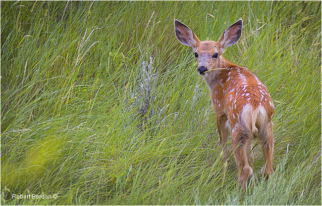 White-tailed fawn  by Robert Berdan ©