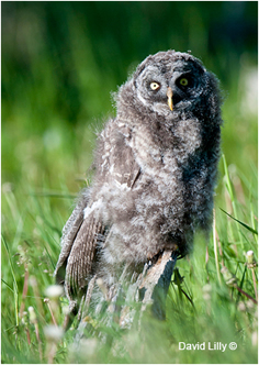Young great gray owl by David Lilly ©
