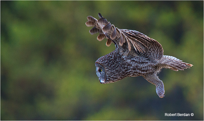 Great gray owl in flight by Robert Berdan ©
