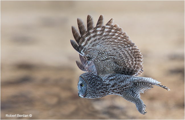 Great Gray Owl in flight by Robert Berdan