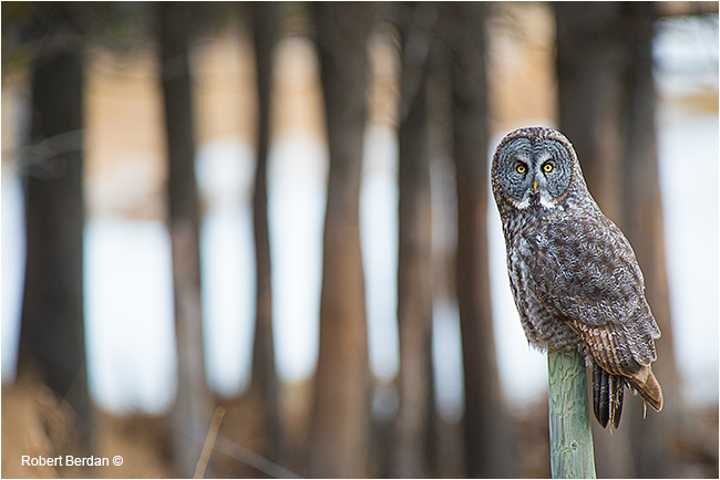 Great Gray Owl by Robert Berdan ©