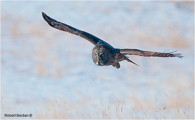 Great gray owl flying head on by Robert Berdan ©