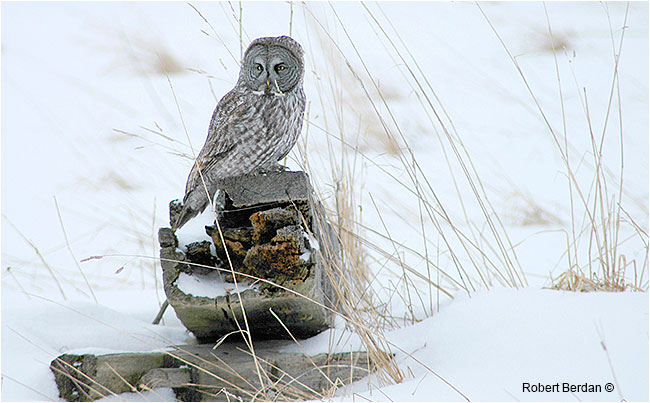 Great gray owl in field by Robert Berdan ©