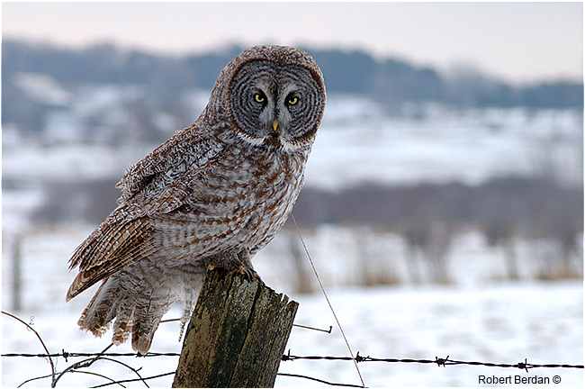 Great gray owl in winter near Midland, Ontario by Robert Berdan ©