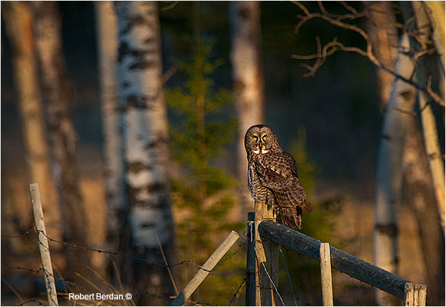 Greay gray owl on fence by Robert Berdan ©