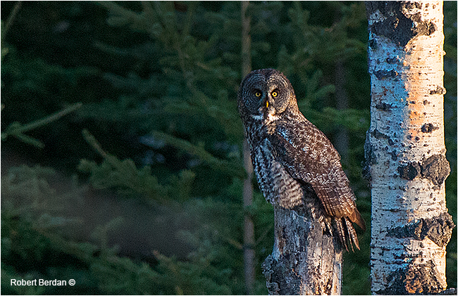 Great gray owl on broken tree by Robert Berdan ©