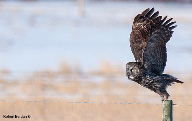 Great gray owl taking off by Robert Berdan ©