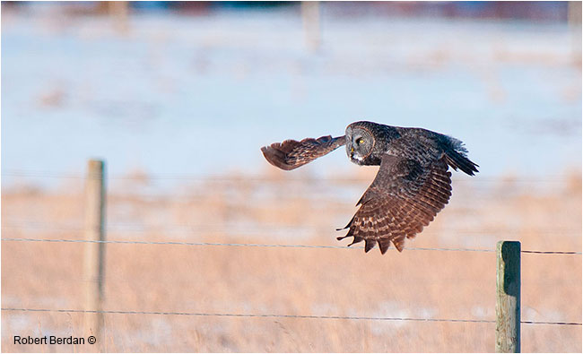 Great gray owl gliding silently by Robert Berdan ©