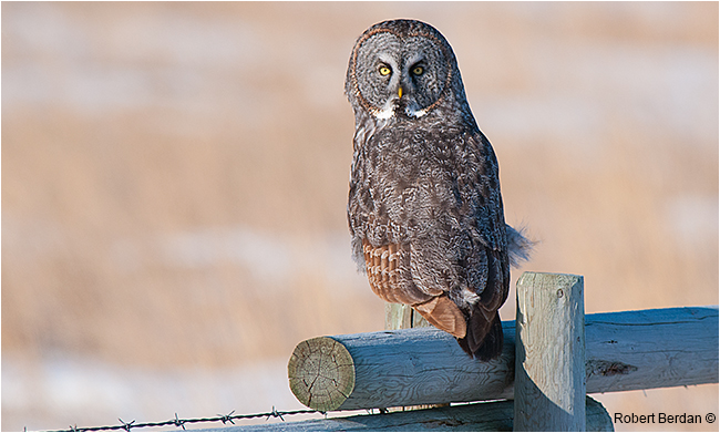 Great gray owl on fence looking backward by Robert Berdan ©