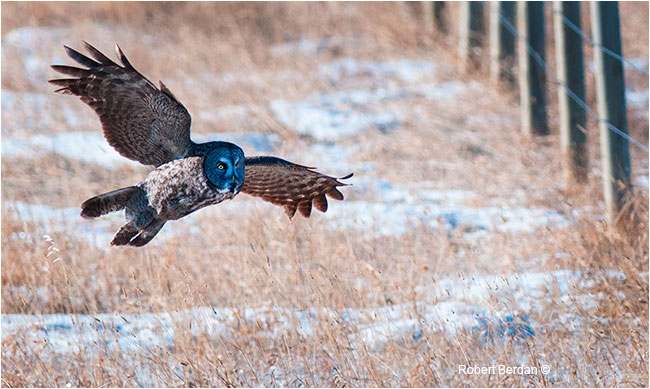 Great Gray owl hunting by Robert Berdan ©