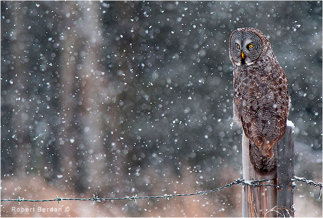 Great Gray owl on post in snowfall by Robert Berdan ©