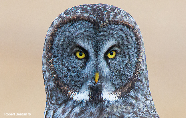 Head shot of Great Gray owl by Robert Berdan ©