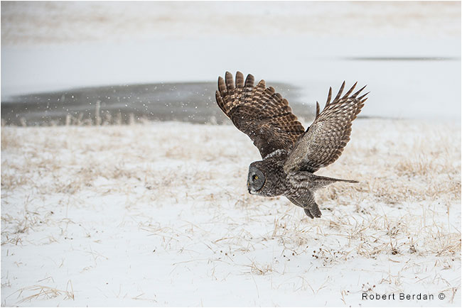 Great Gray Owl in flight hunting by Robert Berdan
