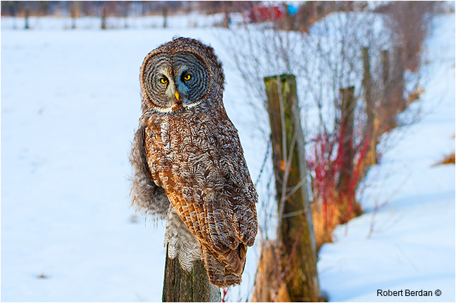 Great gray owl sitting on a fence near Millarville by Robert Berdan ©