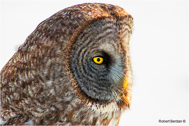 Closeup of the face of a great gray owl by Robert Berdan ©