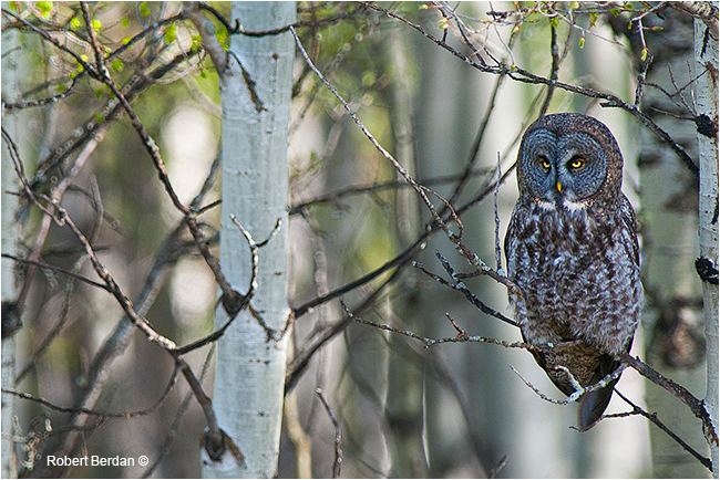 Great gray owl in aspen tree by Robert Berdan ©
