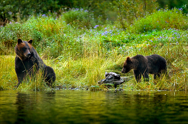 Grizzly Sow and Cub, Mussel Inlet, BC by Robert Berdan ©