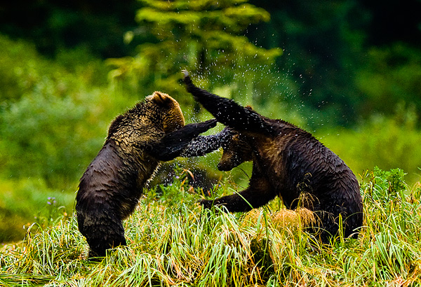 Young Grizzly bears wrestling, Mussel Inlet, BC by Robert Berdan ©