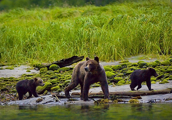 Grizzly Sow and cubs, Mussel Inlet, BC by Robert Berdan ©