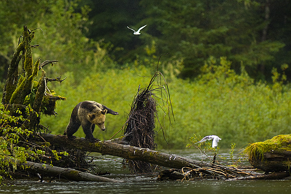 Grizzly balancing on a log, Mussel Inlet, BC by Robert Berdan ©