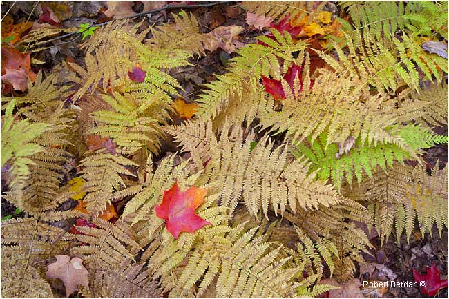 Ferns with autumn leaves by Robert Berdan ©