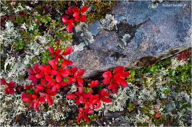 Red bearberry, granite, lichen and cranberry plants on tundra by Robert Berdan ©