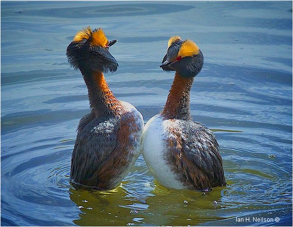 Red-necked grebes courting by Ian Neilson ©