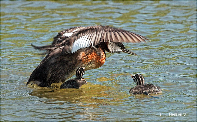 Red-necked Grebe and young by Ian Neilson
