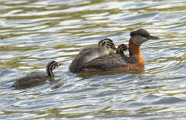 Red-necked Grebe and Babies by Ian H. Neilson ©