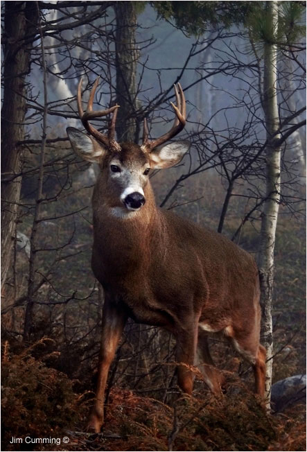 His Majesty - large buck by Jim Cumming ©