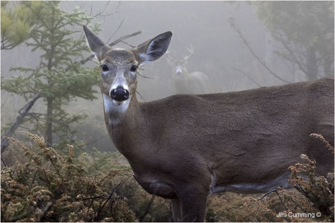 Deer and buck in the fog by Jim Cumming ©