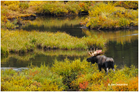 Moose by Joe Desjardins ©