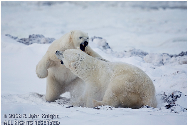 Two adult polar bears wrestling by John Knight ©