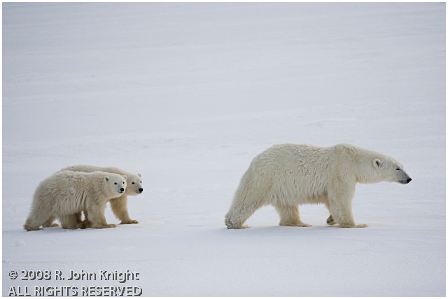 Mother polar bear and two cubs by John Knight ©