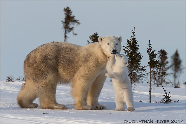 Mothern and young polar bear by Jon Huyer ©