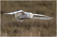 Snowy owl in flight by Jon Huyer ©