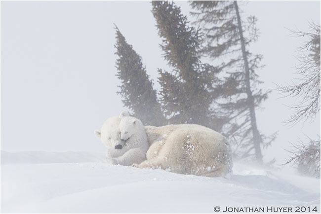 Mom and baby polar bear cuddling in snowstorm by Jon Huyer ©