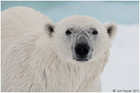 Polar bear by Jon Huyer ©